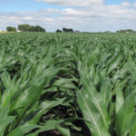 illinois-farm-fields-corn-growing-selling-farm-estate-public-auction