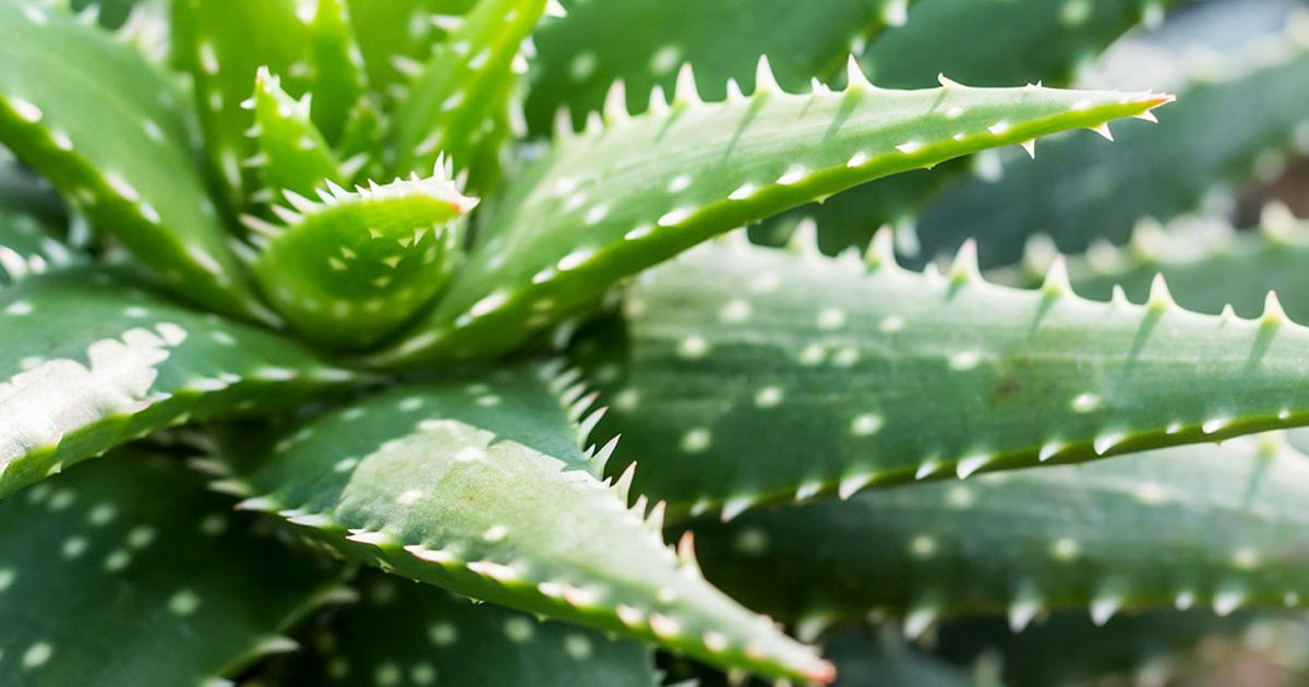 Fresh Aloe Vera Products