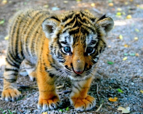 Baby Tiger Pictures, Photos, and Images for Facebook ...