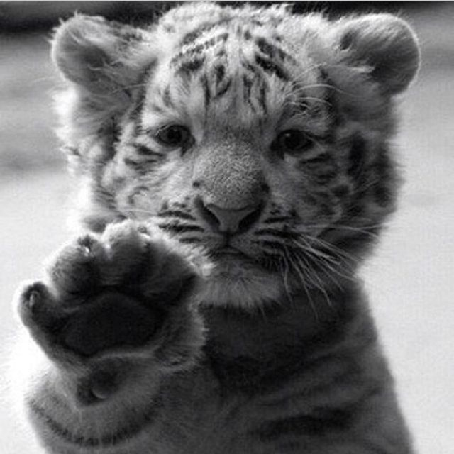 Cutest Baby Tiger Pictures, Photos, and Images for ...