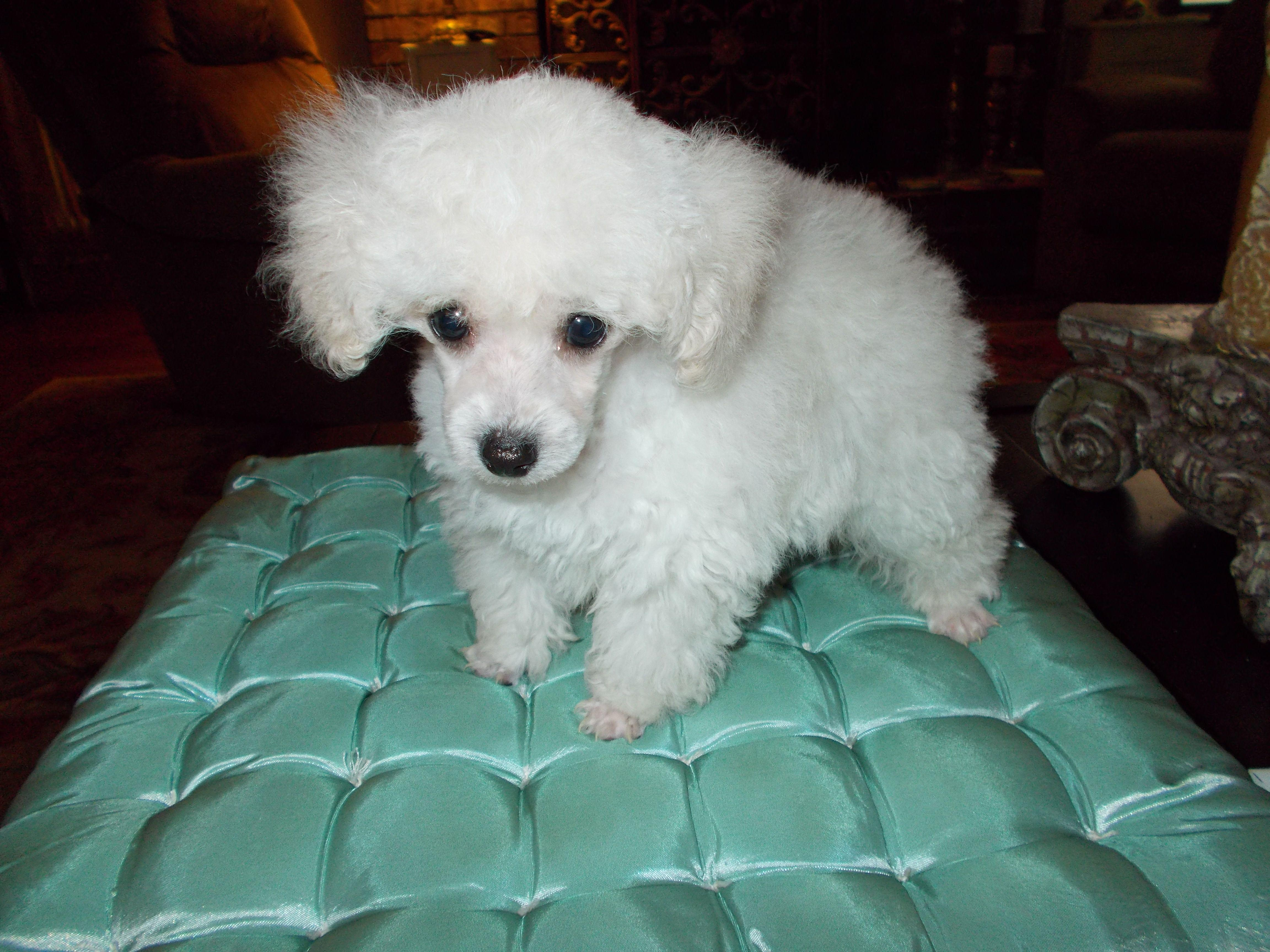 Teacup Amp Toy Poodle Breeders Amp Puppies For Sale In Florida