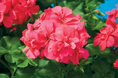 Geranium Ivy Pelargonium Peltatum Freestyle Cherry Rose
