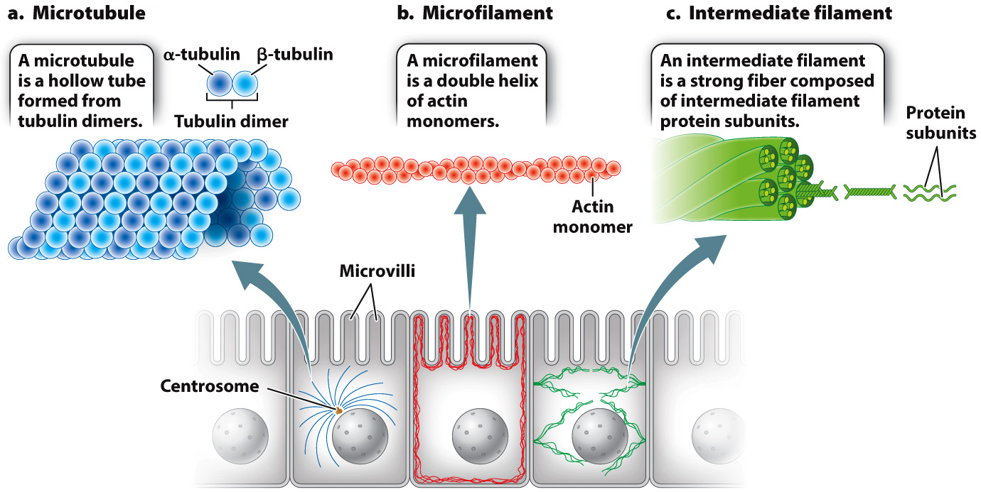 Image of: Diagram All Eukaryotic Cells Have At Least Two Cytoskeletal Elements Microtubules And Microfilaments Animal Cells Have Third Element Intermediate Filaments Biology Questions Chapter 10 Cell And Tissue Architecture Cytoskeleton Cell