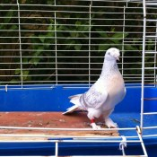 White Pigeons For Sale California (2)