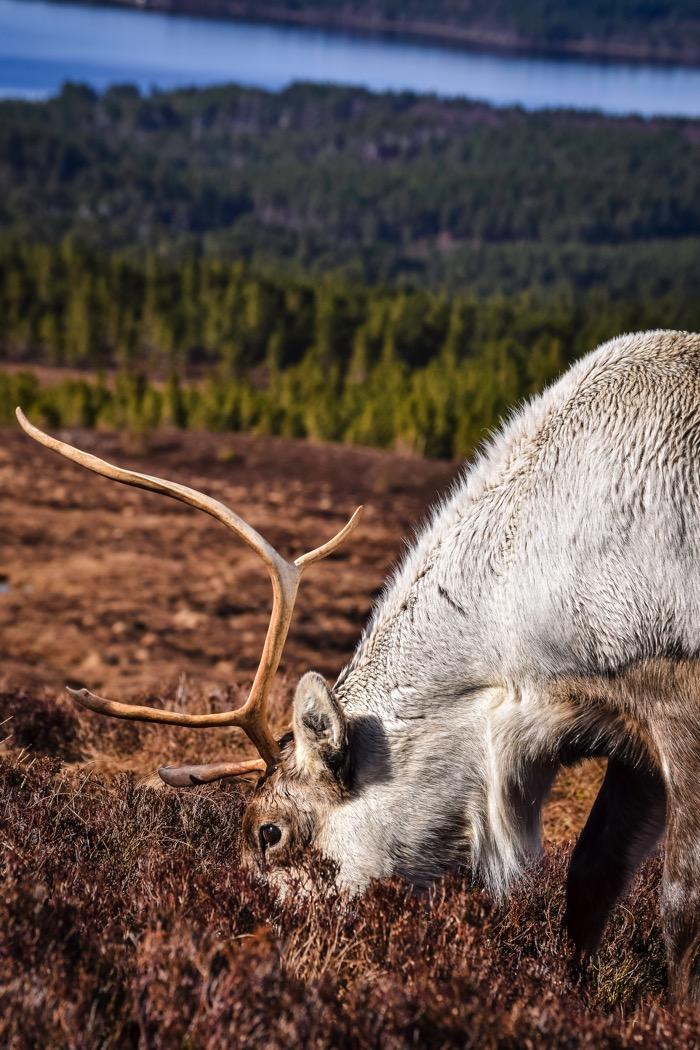 Reindeer wildlife experience in Scotland