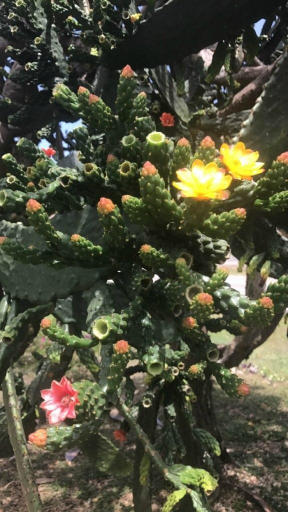 flowering cactus in jamaica