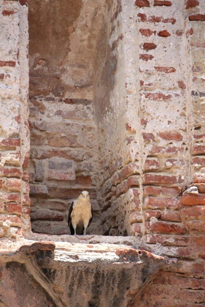hawk on ruins old panama city