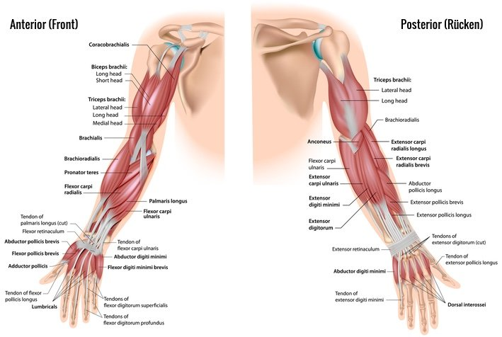 Biceps Brachii And Triceps