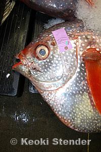 Bigeye Moonfish Opah Lampris Megalopsis
