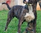 Dogo-espanol-(7)