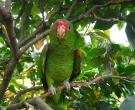 Amazona-Charao-(4)