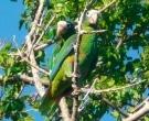 Amazona-ventralis-(3)