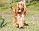 cocker-spaniel-english-2415289_1280