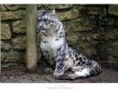 leopardo-de-las-nieves3