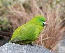 Antipodes Island Parakeet, Auckland Zoo