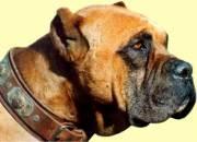 Dogo-espanol-9