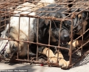 china-dogs3