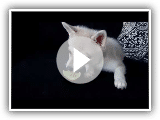 Alaskan Klee Kai Puppy Freaks Out Over Lime