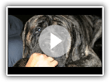 English Mastiff Biggest EVER