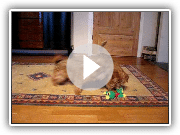 Two norfolk terriers playing