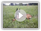 Rasputin - Belgian Malinois in action