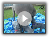 Blue x Juju 4 weeks old June 2010 003.AVI