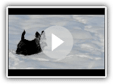 Scottish terrier se divertindo na neve - parte 1