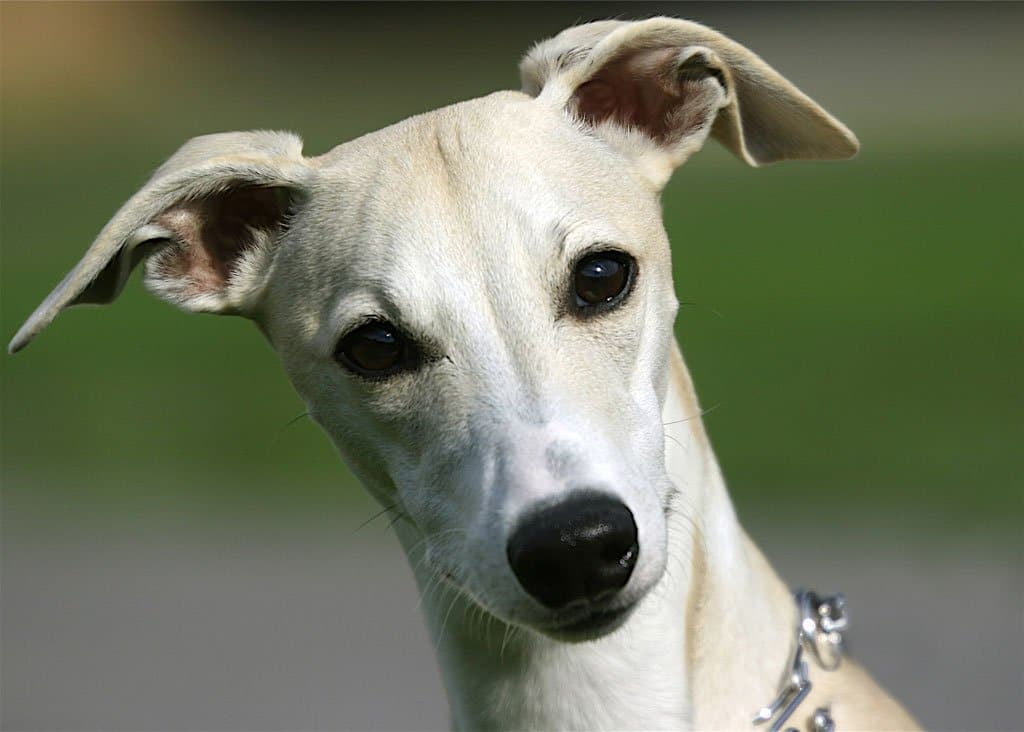 Buy Whippet Puppies For Sale Near Me In Alaska USA