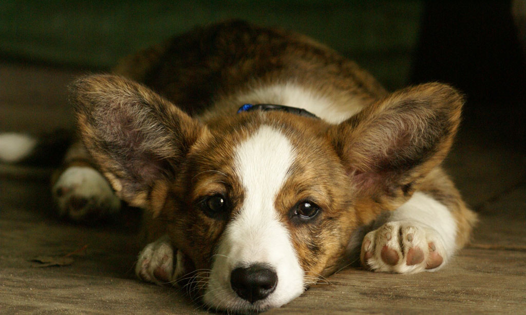 cardigan welsh corgi - races de chiens |animaux