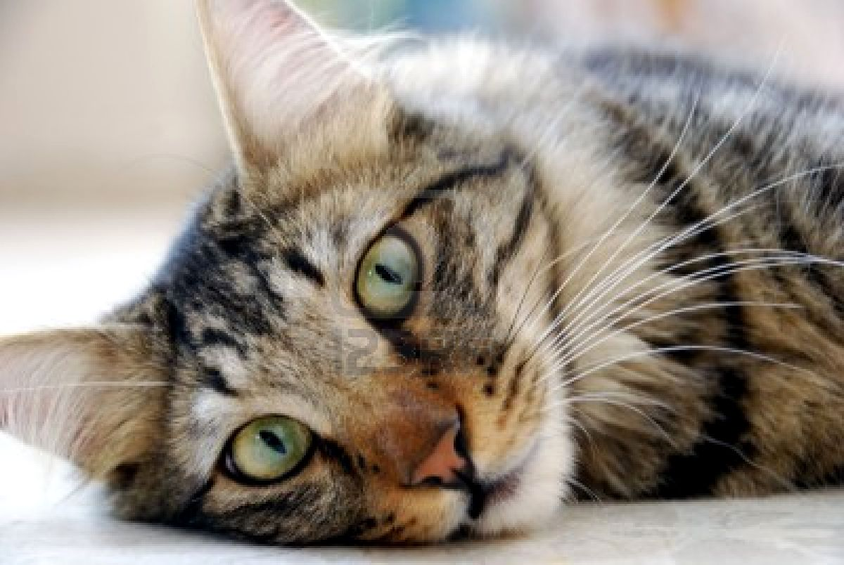 Gato - doméstico