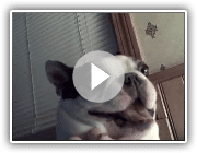 Boston Terrier Hund mag seinen Bauch gekitzelt! Funny Face ~ CUTE! (Original)