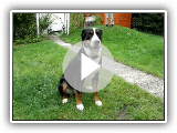 Great Swiss mountain dog of greater Swiss mountain dog cattle dog Swissy