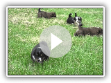 Chiots Berger anglais Ranch noyers
