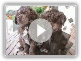 Spanish Water Dog (the intelligence of the race)