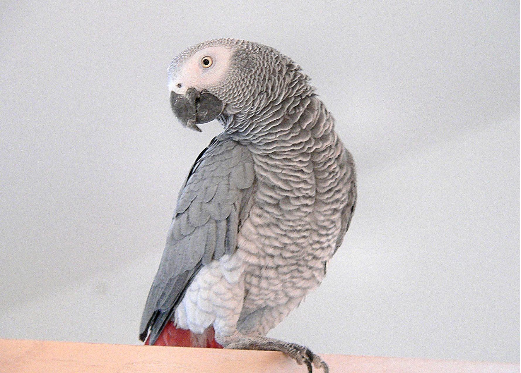 Perroquet gris africaine