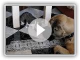 Mastiffs and Cats part 1