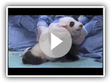 First Steps! San Diego Zoo Panda Cub 9th exam