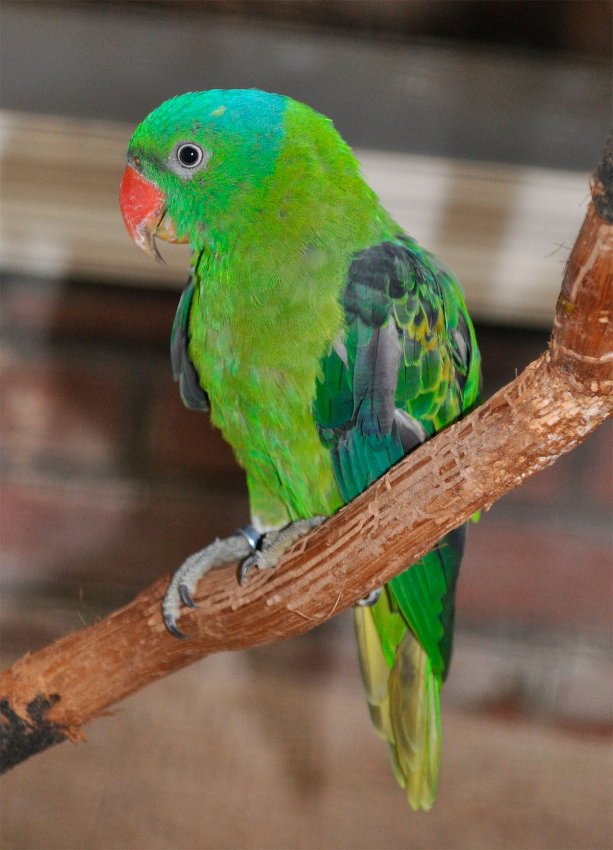 Papagaio-de-nuca-azul