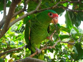 Amazona Charao