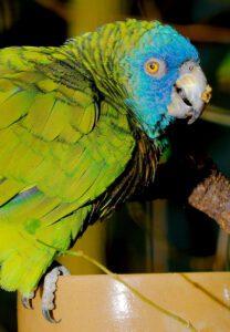 Papagaio-de-santa-lúcia