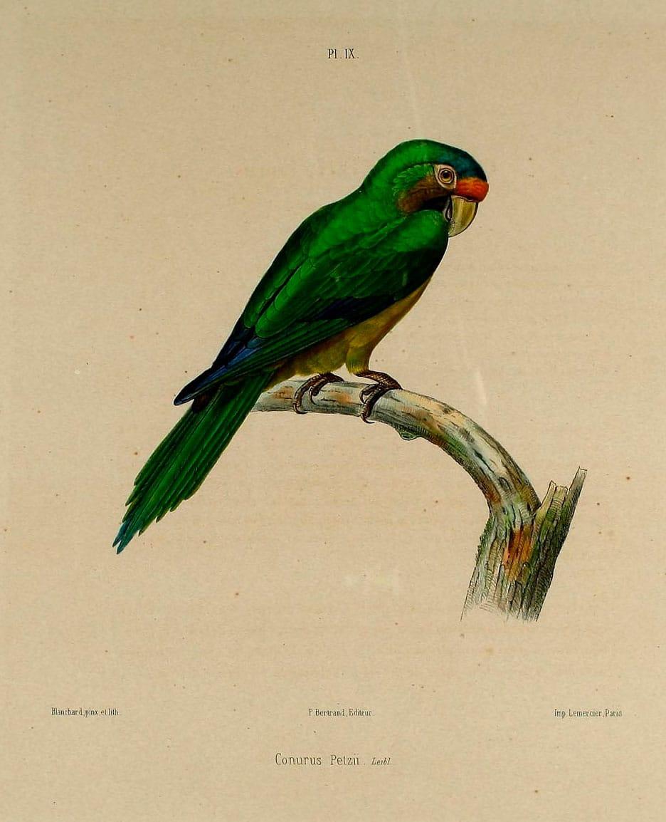 Orange-fronted Parakeet (Eupsittula canicularis) - Exotic birds |Pets