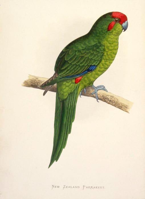 Macquarie-Laufsittich