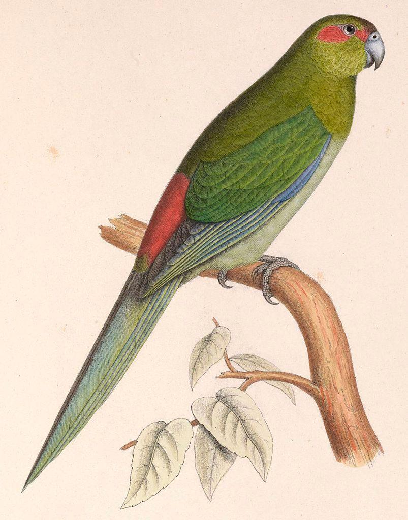 Black-fronted Parakeet