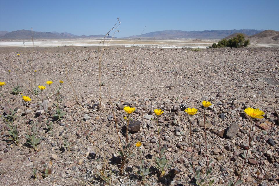 Free photo Desert Yellow Desert Flowers Flowers Desolate   Max Pixel Desert  Flowers  Desert Flowers  Yellow  Desolate