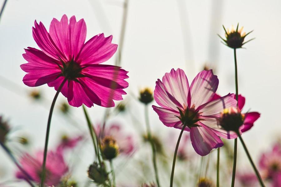 Free photo Flower Garden Plants Flowers Cosmos Autumn   Max Pixel Flowers  Cosmos  Autumn  Flower Garden  Plants
