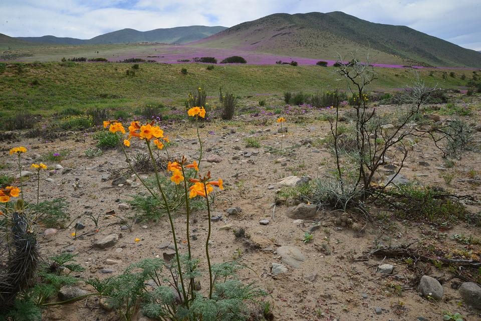 Free photo Flowers Flower Hills Flowering Desert Purple   Max Pixel Hills  Flowering Desert  Flowers  Purple  Flower