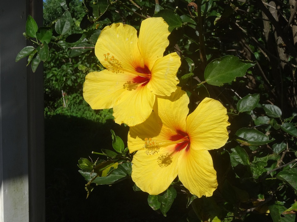 Free photo Flowers Hibiscus Marshmallow Yellow Hibiscus Flower   Max     Hibiscus  Flowers  Hibiscus Flower  Marshmallow  Yellow