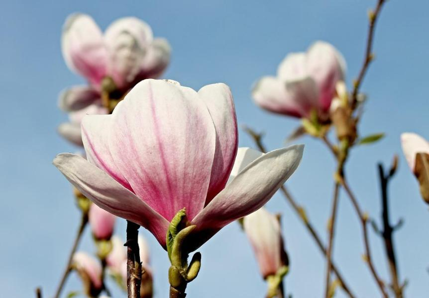 Free photo Flowers Magnolia Blossom Pink Magnolia Spring   Max Pixel Magnolia  Magnolia Blossom  Spring  Pink  Flowers