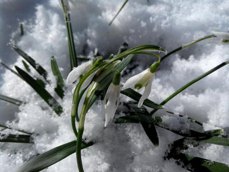 Free photo March Snow Flowers Spring Snowdrops Greens White   Max Pixel Snowdrops  Flowers  Snow  White  Greens  Spring  March