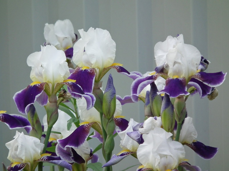 Free photo Petals Flower Iris Flowers Colorful Purple White   Max Pixel Flowers  Iris  Flower  White  Purple  Colorful  Petals